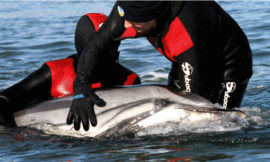 Porque varan tantos mamíferos mariños en Galiza?