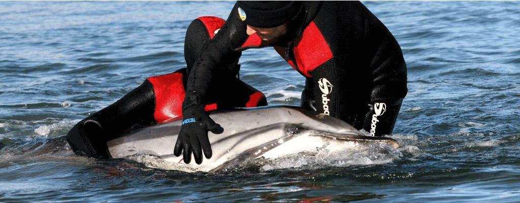 Varamento de cetaceos golfiño vivos Fonte: www.cemma.org