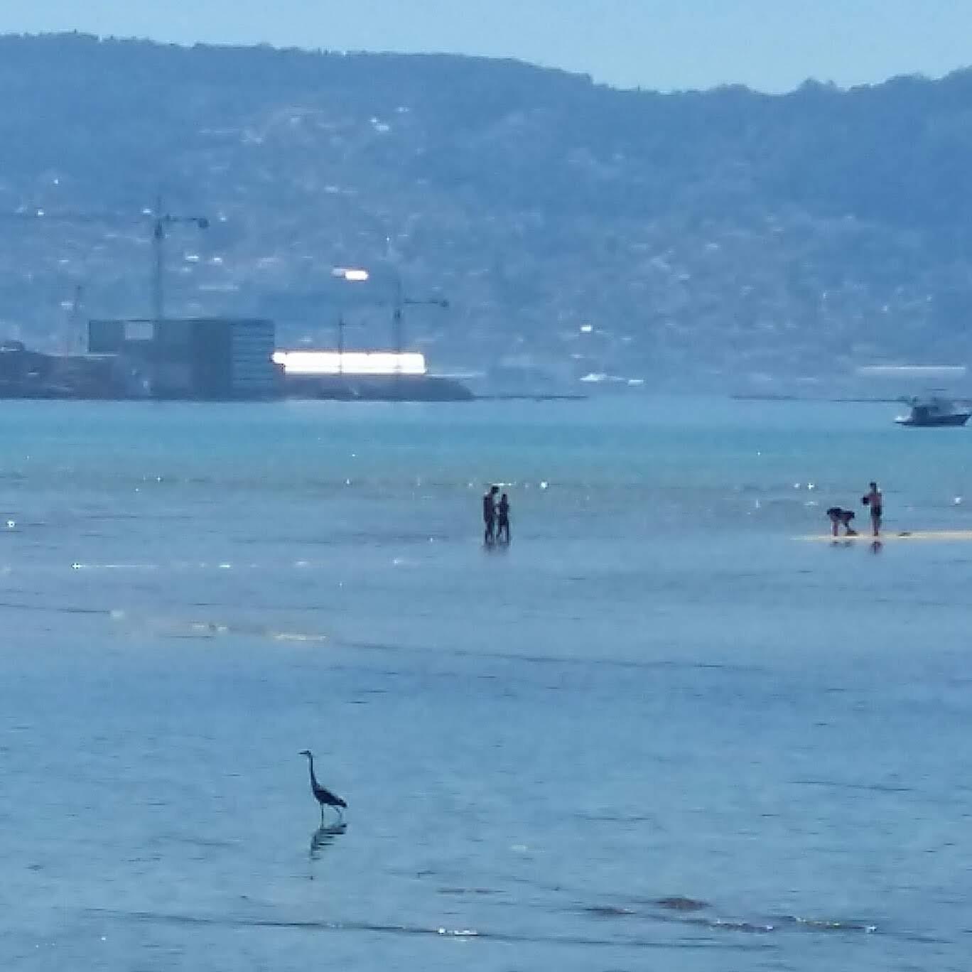 Garza na Praia da Xunqueira (Moaña)
