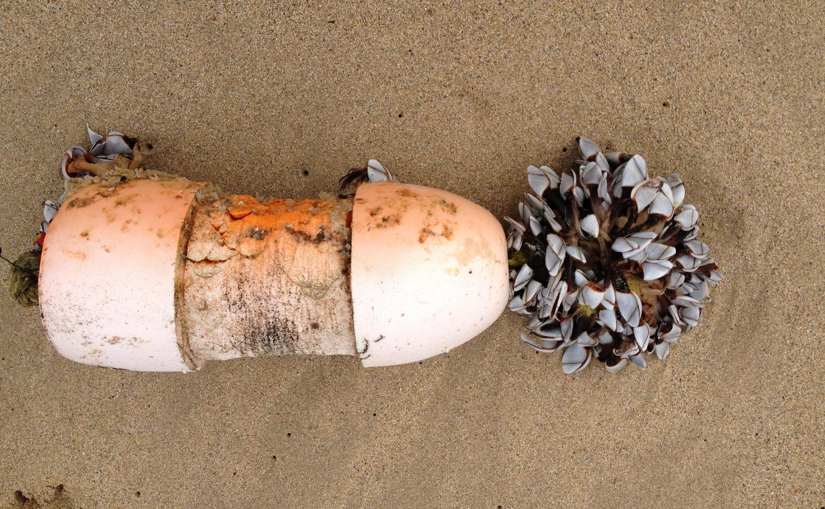 Lepas anatifera apegada a un lixo mariño flotante.