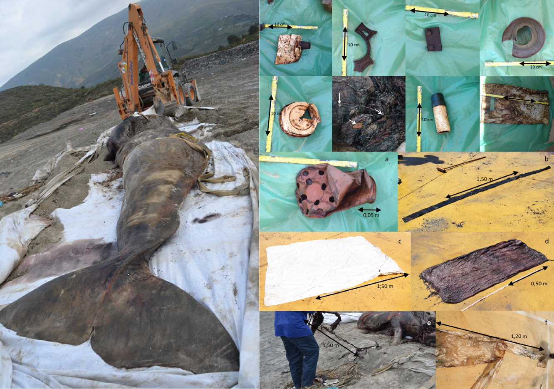 Restos no interior do cachalote e o cachalote morto por plástico. Fonte: https://www.sciencedirect.com/science/article/pii/S0025326X13000489