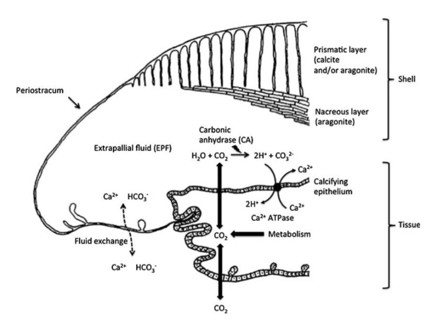 Esquema da calcificación da cucha nos moluscos