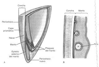 Capas cuncha moluscos bivalvos manto. Fonte: Hickman