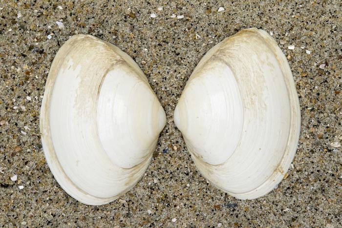 Cornicha Spisula solida WoRMS molusco bivalvo ameixa