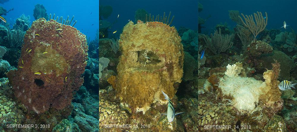 Evolución dunha esponxa caribeña afectada. Fonte: caribbeanreeflife.com