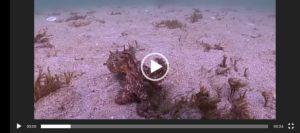 Un polbo andando sobre dúas patas
