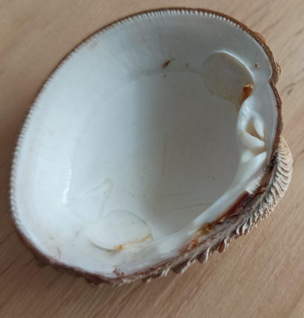 Tres dentes cardinais da Familia Veneridae bivalvos moluscos ameixas