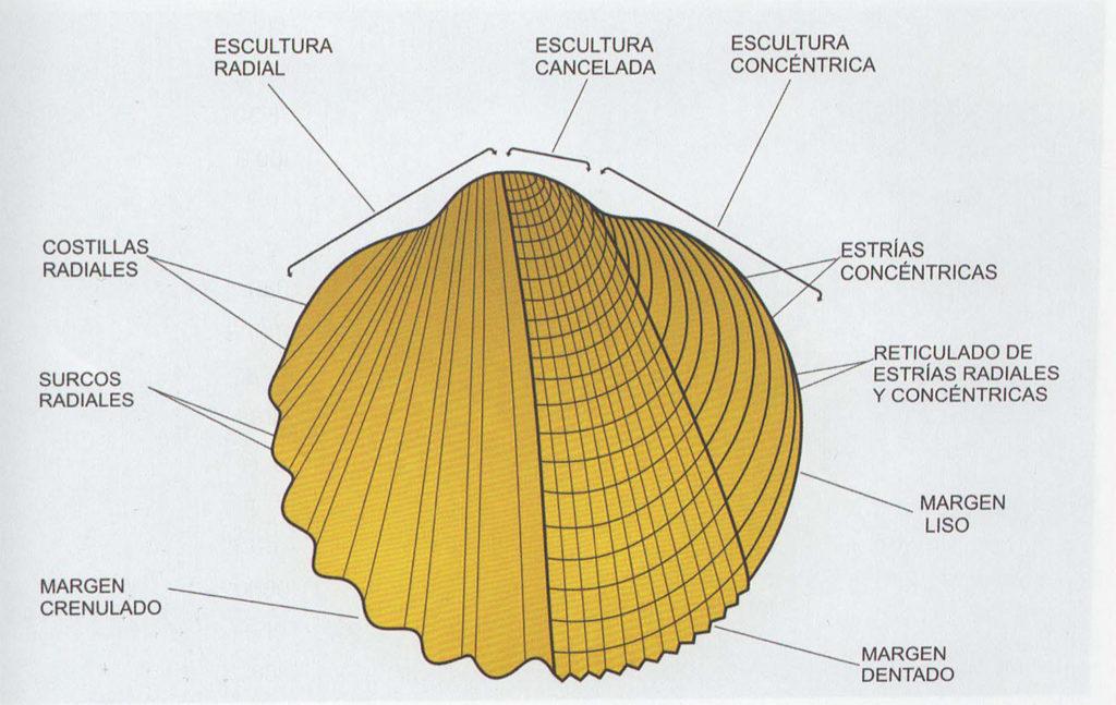 Ornamentación partes cuncha molusco bivalvo. Fonte: Guia de los Moluscos Marinos de Galicia