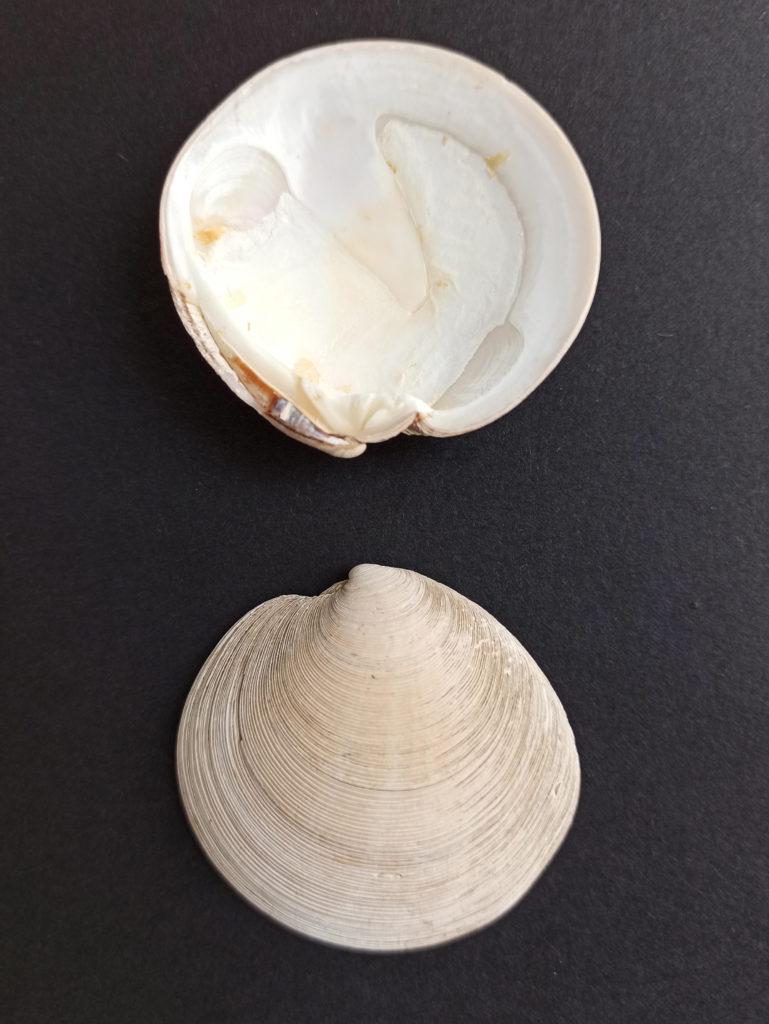 Relo Dosinia exoleta molusco bivalvo ameixa
