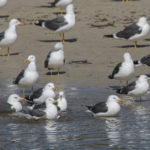 Gaivotas da costa galega: As especies reprodutoras